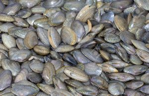 Fresh Baby Clams in basin at seafood supermarket.Another name is Carpet Clam.